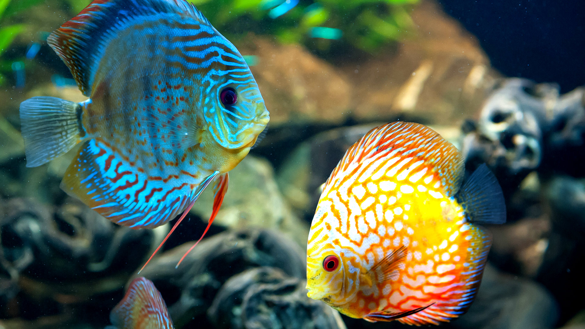 Coral-Reef-Fish-wallpapers-hd-1080p-1920x1080-desktop-02