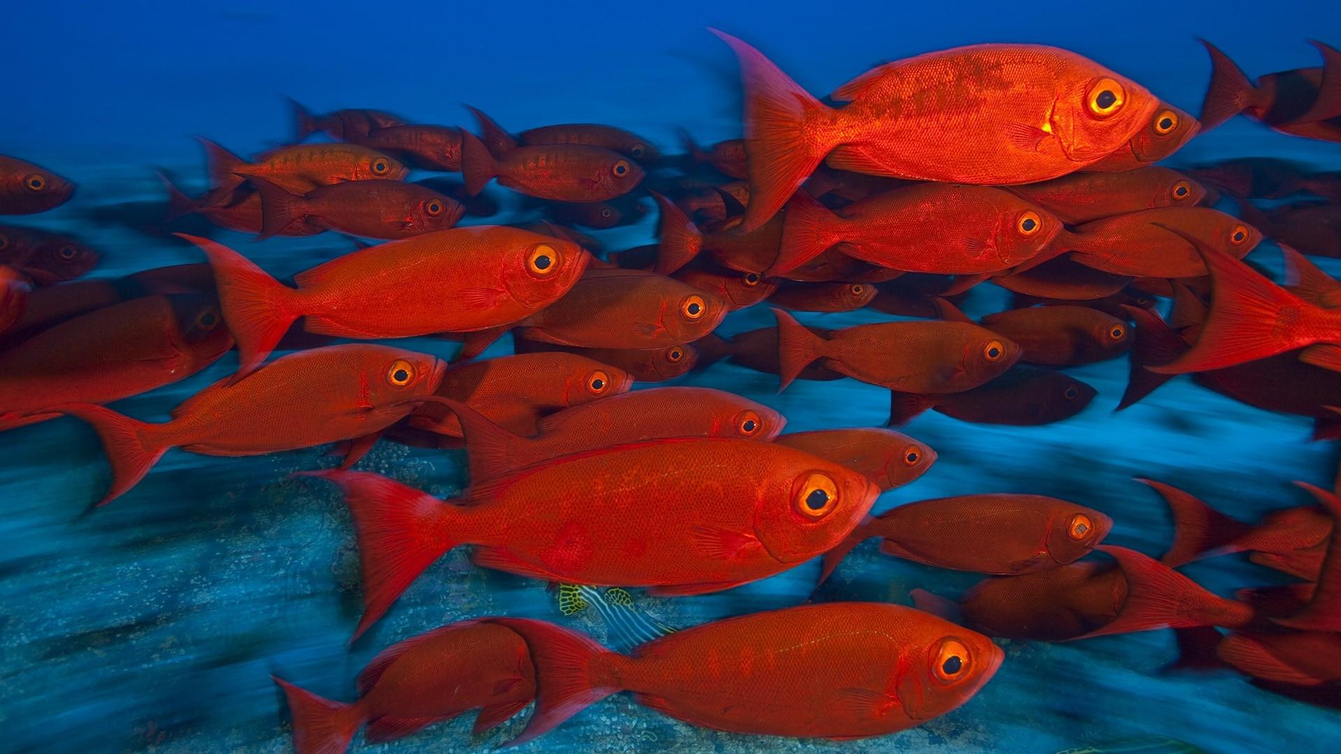 animals_fishes_tropical_red_color_eyes_underwater_sea_ocean_water_hd_widescreen