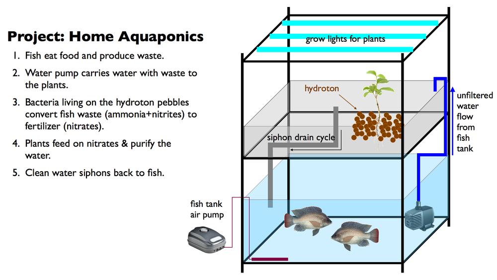 Aquaponics Fish Tank Boys